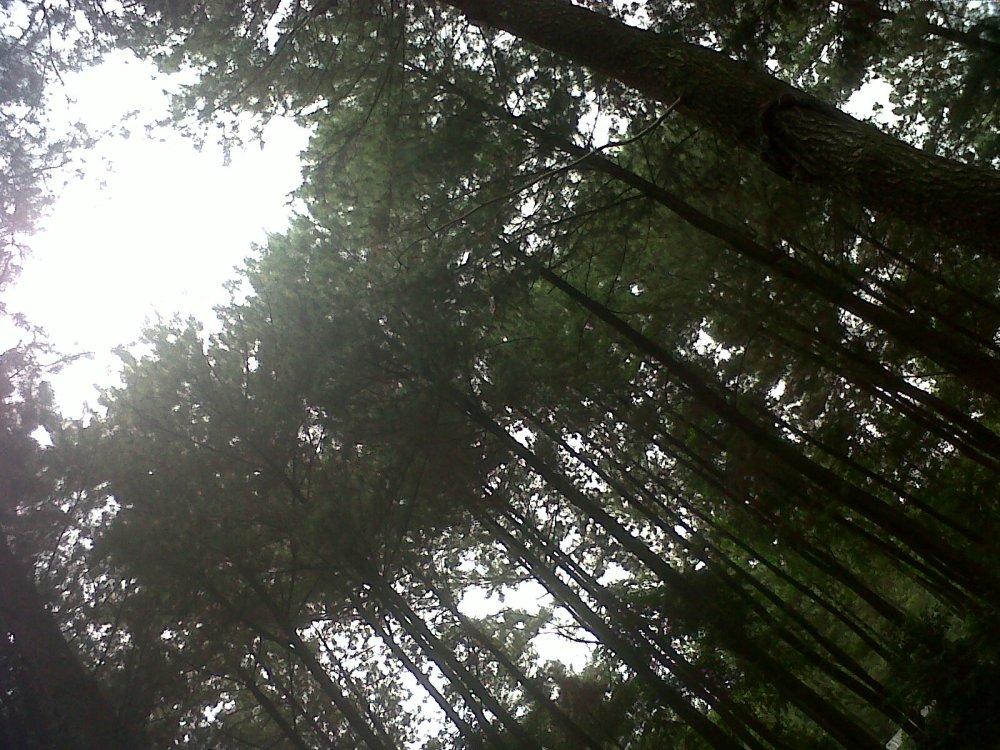 pepohonan di gunung pancar
